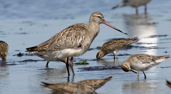 Migratory shorebirds, godwits