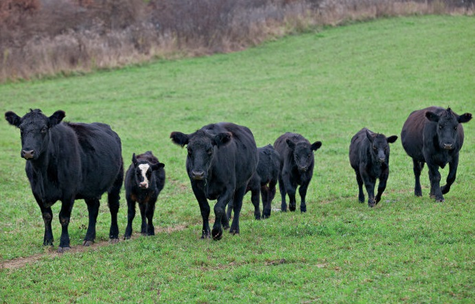 relief packages for farmers, beef cattle in paddock